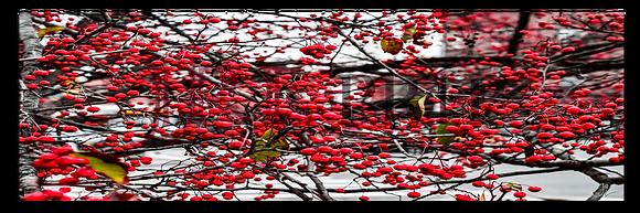 Panoramic Wall Art - Red Berry Invasion