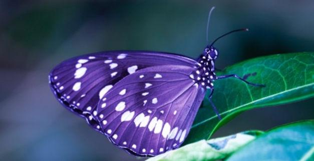 purple butterfly cropped resized.jpg