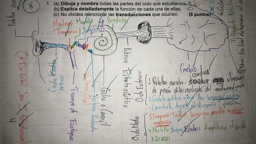 Diagrama del sistema auditivo humano según Kevin Tobón Delgado.