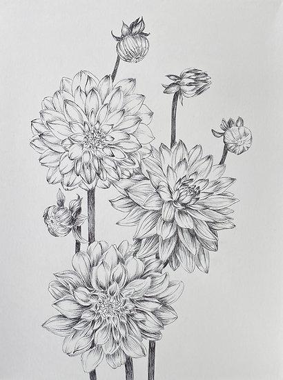 Dahlias drawing