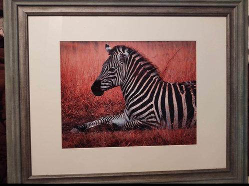 Framed Zebra Photography Captured on African Safari