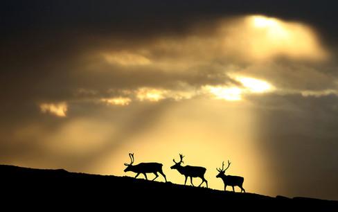 Reindeer in the golden hour