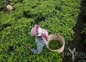 Meet Assam Tea Pioneer, Avantika Jalan
