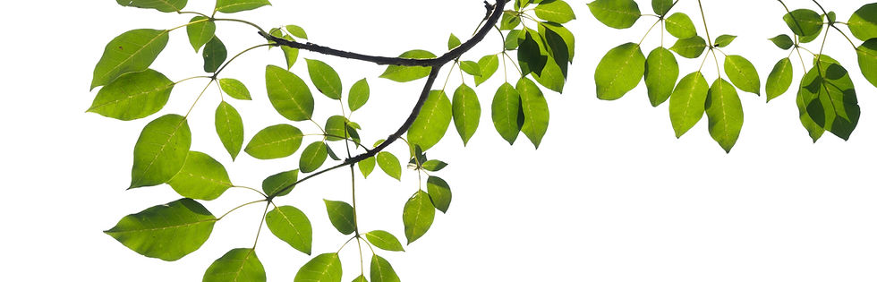 green tree branch isolated.jpg