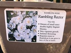 Rambling Rector Rose