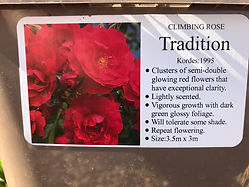 Tradition Rose