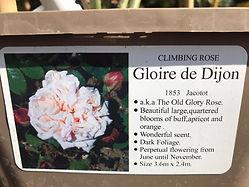 Gloire de Dijon Rose