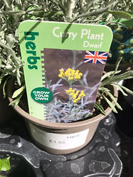 Curry Plant