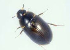 Parker enochrus water beetle.jpg