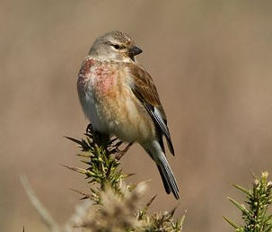 Broomscot female linnet.jpg