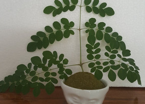 """The Moringa tree is known as the """"Tree of Life"""""""
