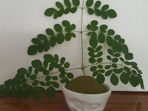 "The Moringa tree is known as the ""Tree of Life"""