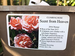 Scent from Heaven Rose