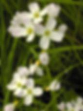 Frith cuckoo flower.jpg