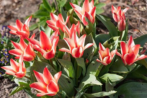 Tulip 'Pinocchio' bulb