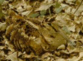 Blo Norton Little Fen woodcock.jpg
