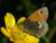 Broomscot small heath butterfly.jpg