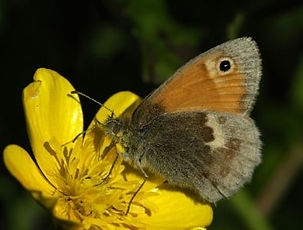 Broomscot small heath butterfly.jpg