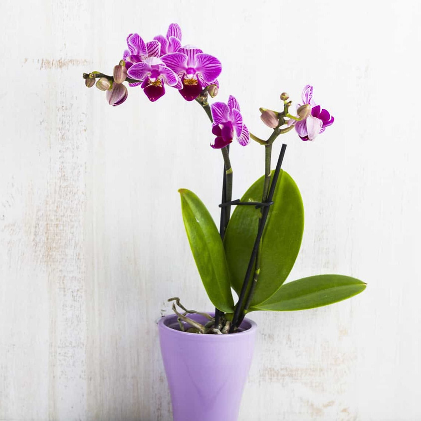Orchid Day (Afternoon)