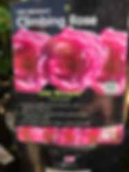 Lilac Bouquet Rose