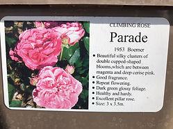 Parade Rose