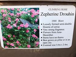 Zepherine Drouhin Rose
