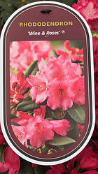 Rhododendron - Wine & Roses