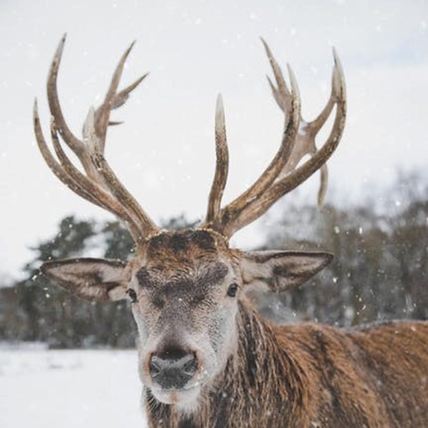 Reindeer Live