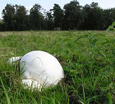 Frith giant puffball.jpg