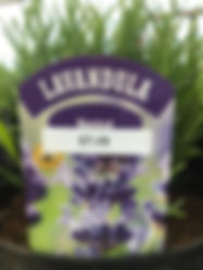 Munstead - Lavender