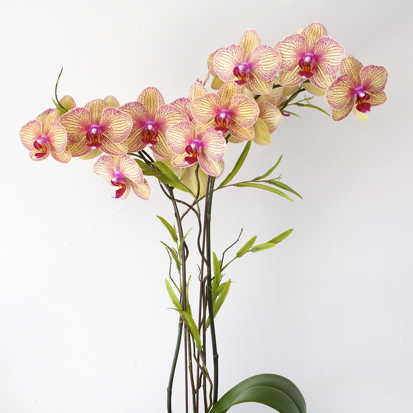 Orchid Day (Morning)