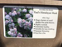 Paul's Himalayan Musk Rose