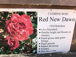 Red New Dawn Rose