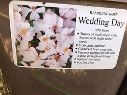 Wedding Day Rose