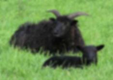 Lows black sheep.jpg