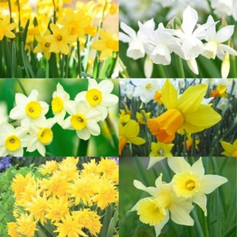 Mixed Miniature Daffodils Narcissus