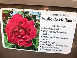 Etoile de Holande Rose