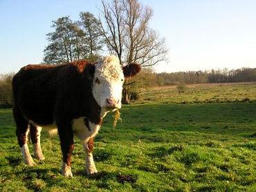 Lows cow.jpg