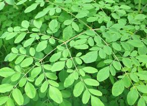 Moringa - The Benefits