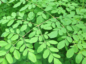 Moringa - The Benefits