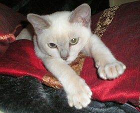 Grand Ch. Nibbel Tommy - Platinum/Lilac Mink Tonkinese