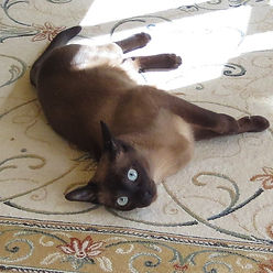 Ch. Anjayma Quin Song - Natural/Seal Mink Tonkinese