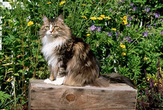 124 Brown Tabby and White Maine Coon.jpg