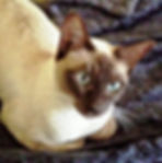 Anjayma Lilac Dream - Champagne/Chocolate Mink Tonkinese