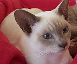 Anjayma Tonkinese Cats, breeder