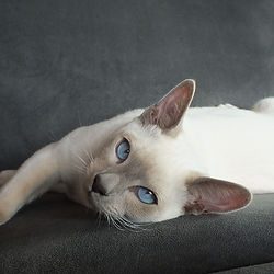 El'Sprite Beezelbub - Lilac Point Tonkinese