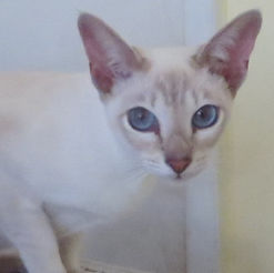 El'Sprite Angelwing - Lilac Tabby Point Tonkinese