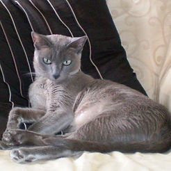 Anjayma Misty Dawn - Blue Solid Tonkinese