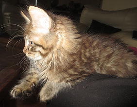 Brown Tabby male c.JPG