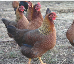 Welsummers are Dutch birds, Chicks, Pullets and Hens For Sale in New Jersey